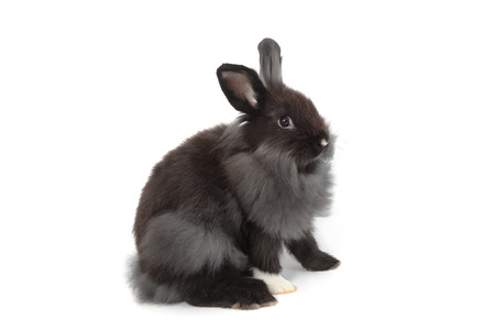 rabbit standing: Black hollands lops rabbits on white background