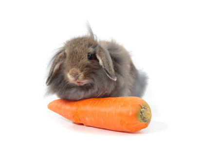 lop lop rabbit white: Cute Holland Lop rabbit eatting carrot isolated on white