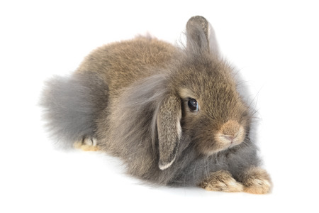 lop lop rabbit white: Cute Holland Lop rabbit isolated on white Stock Photo