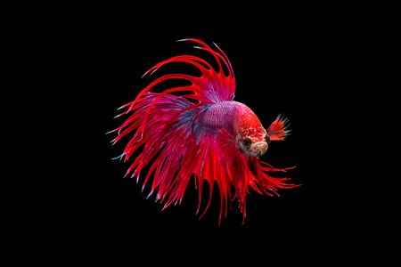 betta:  Colorful Fighting Fish motion