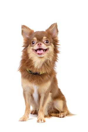 portrait of long haired chihuahua