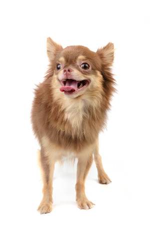 long haired chihuahua: portrait of long haired chihuahua
