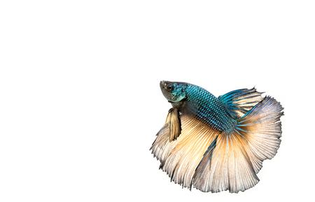 fish tail: Betta fish, siamese fighting fish, betta splendens isolated on white background