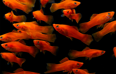 poecilia: Molly fish ( Poecilia latipinna ) Aquarium fish
