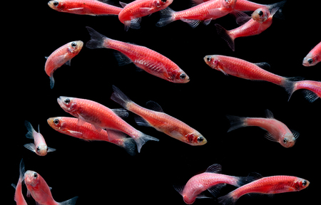 zebrafish: Zebra danio mutation, Zebra fish,Glofish in fresh water aquarium Stock Photo