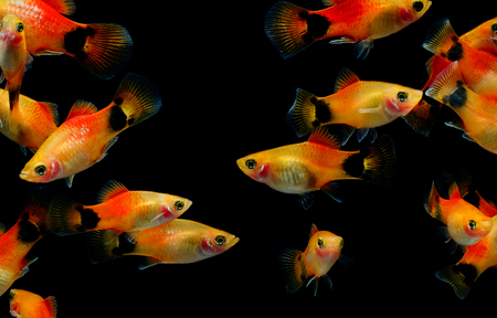 Molly fish ( Poecilia latipinna ) Aquarium fish
