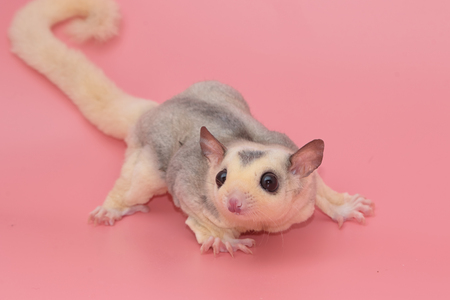 joey: Cute male sugar glider leucistic . Petaurus breviceps, on pink background Stock Photo