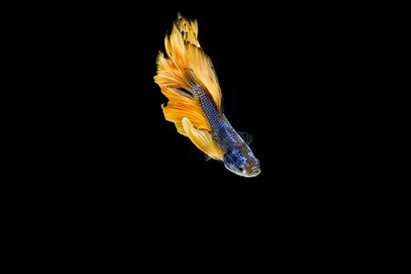 fish tail: Betta fish, siamese fighting fish, aquarium fish