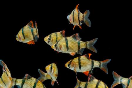 tetrazona: Aquarium fish ,The tiger barb fish, sumatra barb (Puntius tetrazona).