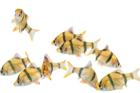fishtank: Aquarium fish ,The tiger barb fish, sumatra barb (Puntius tetrazona).