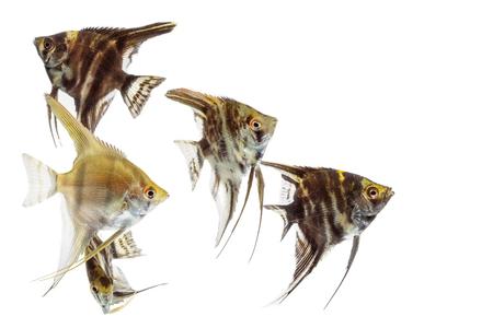 fish tail: Angelfish (Pterophyllum) isolated on white background