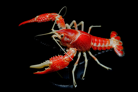 Crayfish Procambarus Clarkii Ghost on black background. Stock Photo