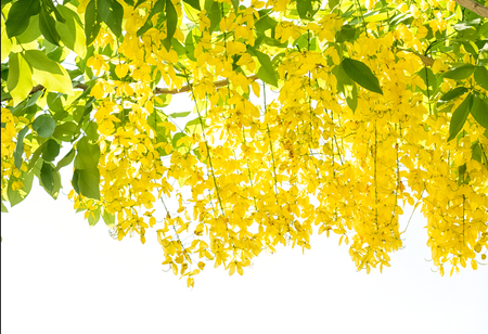 Flower of golden shower tree(Cassia fistula), isolated on white background