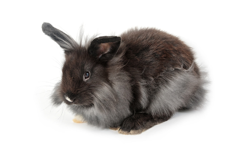 lionhead: A lionhead bunny rabbit, isolated on white background