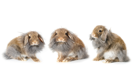 lionhead: Set of cute lionhead bunny rabbit, isolated on white background Stock Photo