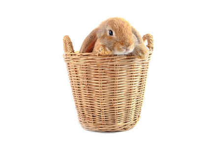 lop lop rabbit white: Cute french Lop rabbit sitting in the basket on white background Stock Photo