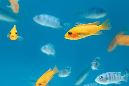 Malawi cichlids,Tropical fish in aquarium