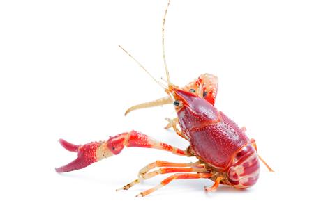 Crayfish Procambarus Clarkii Ghost on black background. Stock Photo