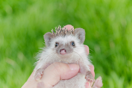 Hedgehog in the green meadow ,African pygmy hedgehog