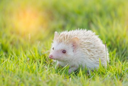 Hedgehog in the green meadow ,African pygmy hedgehog