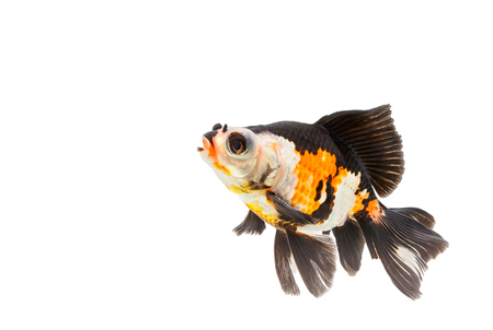 fancy goldfish isolate on white background Stock Photo