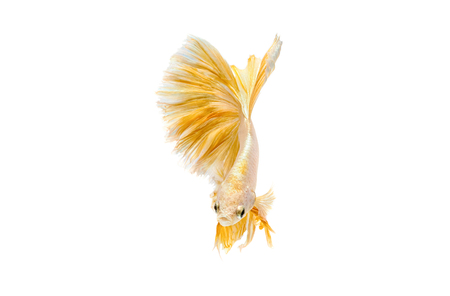 Moving moment of gold siamese fighting fish isolated on white background