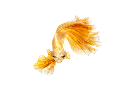 Moving moment of gold siamese fighting fish isolated on white background Reklamní fotografie - 82011326