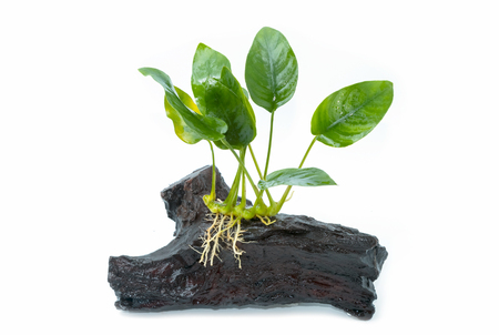freshwater aquarium plants: Anubias barteri aquarium plants on small driftwood on white background Stock Photo