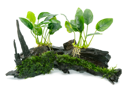 Anubias barteri aquarium plants and green moss on small driftwood  스톡 콘텐츠