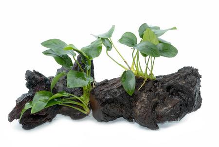 Anubias barteri aquarium plants on small driftwood on white background Stock Photo