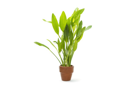 freshwater aquarium plants: Green aquarium plants on white