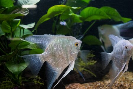 freshwater aquarium plants: Angelfish pterophyllum scalare in aquarium