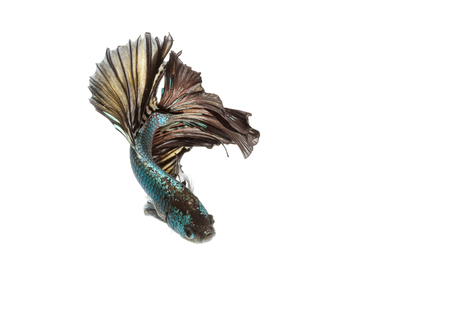 Betta fish moving moment of Siamese fighting fish isolated