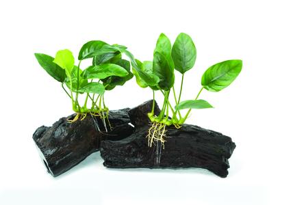 Anubias barteri aquarium plants