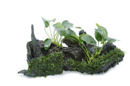 Anubias barteri aquarium plants and green moss on small driftwood
