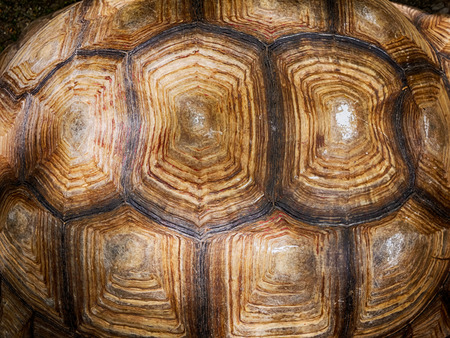 Close up of turtle shell textured and background,old Turtle carapace.