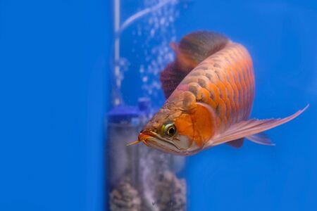 Asian red arowana fish swims in a fish tank.