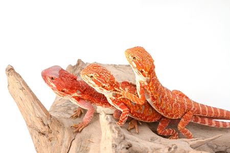 Three bearded dragons (pogona vitticeps) isolated on white background