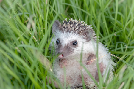 cute hedgehog lying in garden Stock Photo