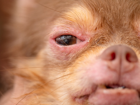 Chihuahua dog with Demodicosis, allergy dog skin