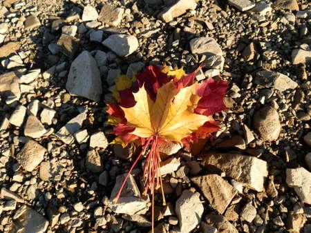 autumn maple leafs on stone