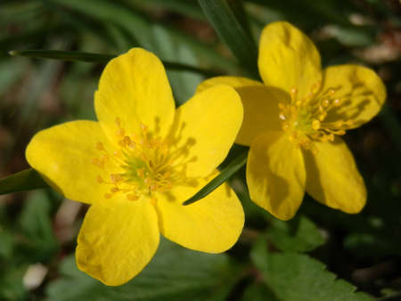 marsh marigold macro Stock Photo