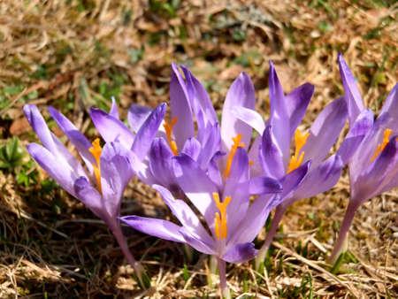 group of saffron flowers Stock Photo