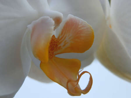 White orchid macro Stock Photo