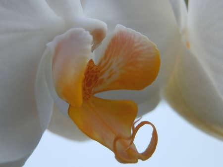 White orchid macro Stock Photo