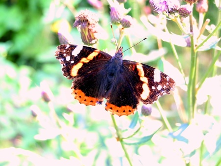 butterfly on thistle photo