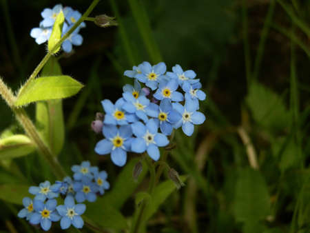 group of flower Forget-me-not Stock Photo - 17177506
