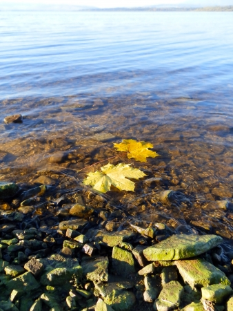 maple leafs on the water1 Stock Photo - 17177604