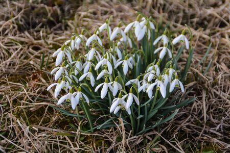 snowdrop group on the meadow Stock Photo