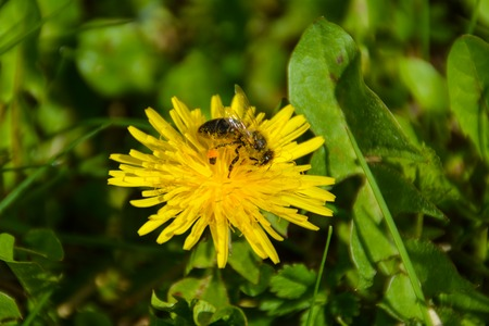 dandelion with bee on the green grass